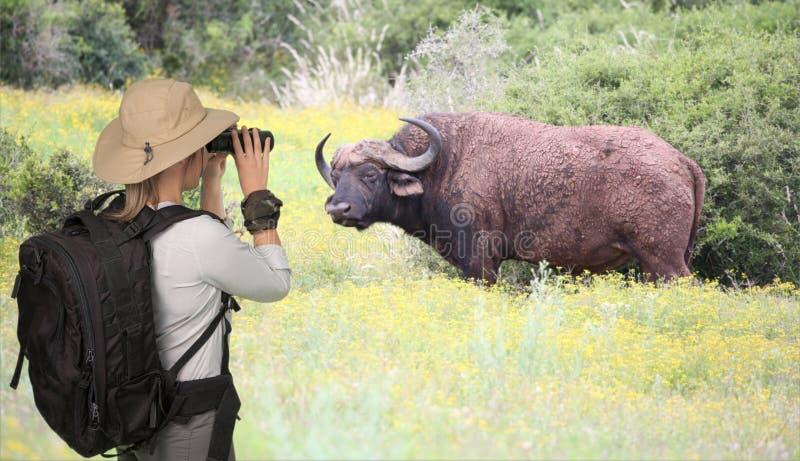 Dame Tourist op Safari Viewing een Kaapbuffel royalty-vrije stock afbeeldingen