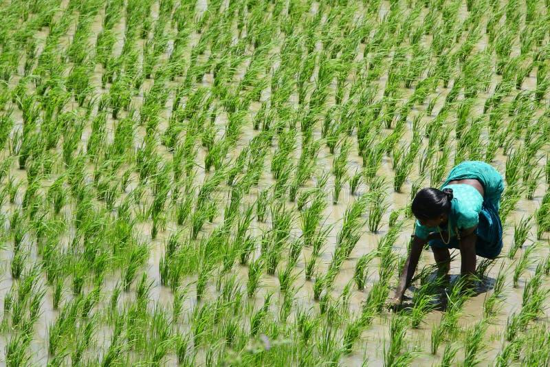 Dame travaillante dure sur un gisement de riz sous le soleil dur photographie stock