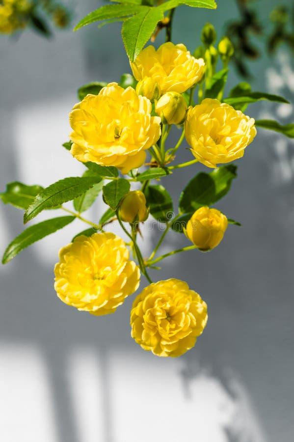 DameBanks ' rozen (Rosa Banksiae Lutea) over eenvormige achtergrond stock afbeeldingen