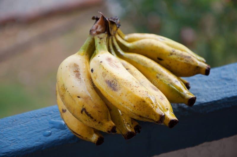 DameFinger bananen stock afbeeldingen