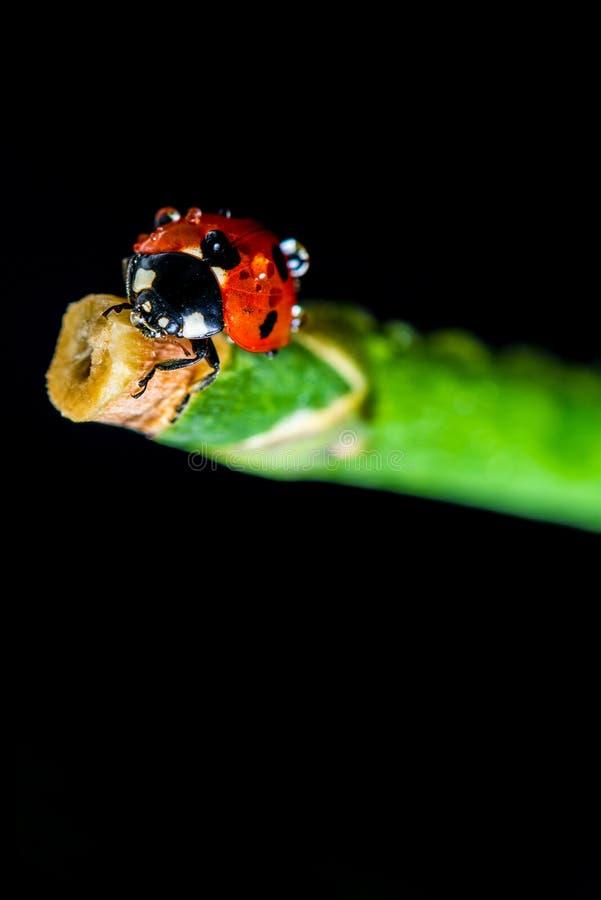 Download Dameinsect stock afbeelding. Afbeelding bestaande uit insect - 39110637