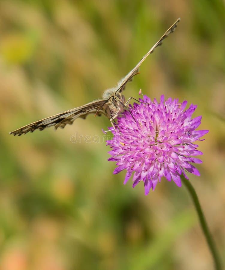 Damenbrett-Schmetterling auf Distel-Anlage lizenzfreie stockfotografie