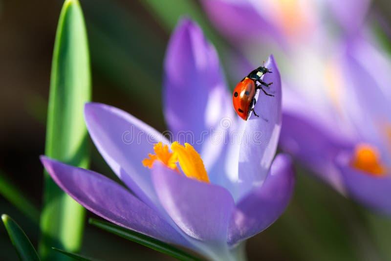 Damenwanze auf Frühling Krokus blüht, Makrobild mit kleiner Schärfentiefe lizenzfreie stockbilder