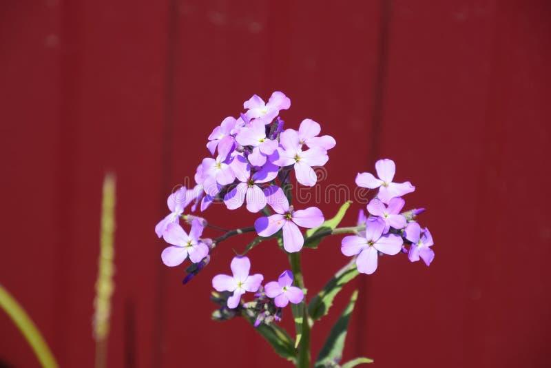 Dames Rocket Violet royalty-vrije stock foto's
