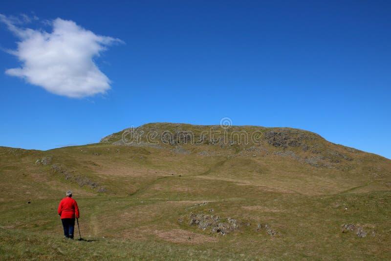Damfellwalker p? lutningar av Hallin avverkar, Cumbria arkivfoto