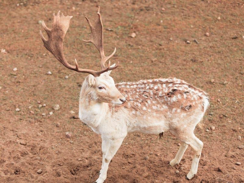 Damhertenbok bij park stock afbeelding