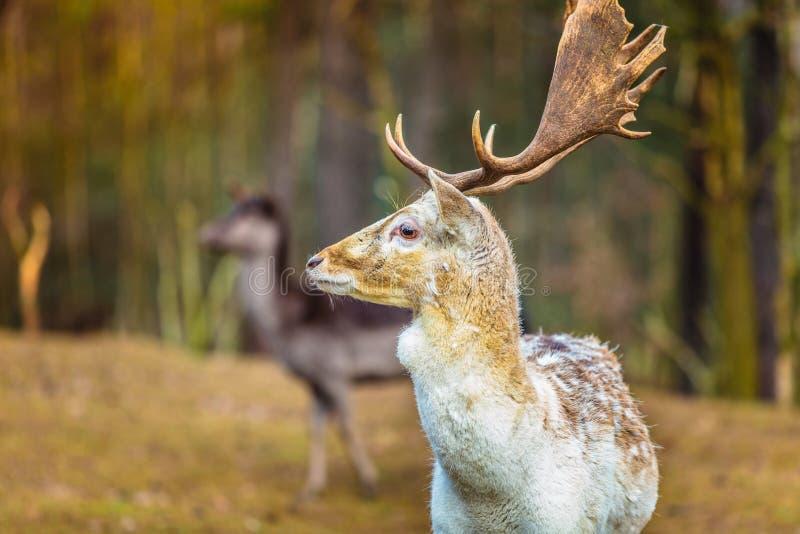 Damhertenbok in bos royalty-vrije stock foto