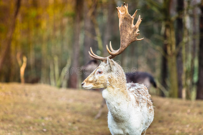 Damhertenbok in bos stock afbeeldingen
