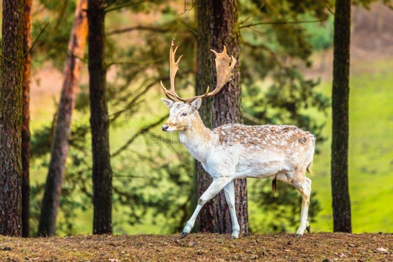 Damhertenbok in bos stock afbeelding