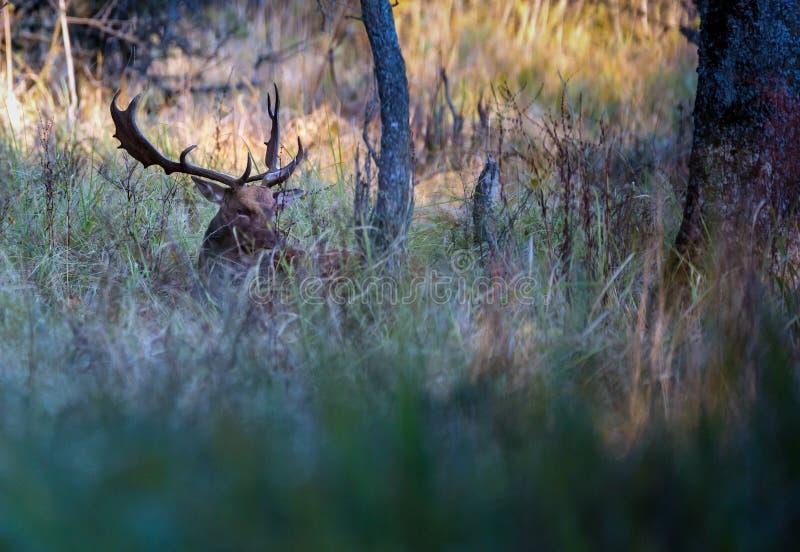 Damhertenbok in het bos stock afbeelding