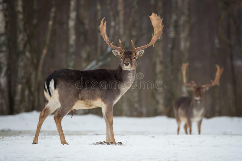 Damhertenbok Majestueuze krachtige volwassen Damherten, Dama-dama, in de winterbos, Wit-Rusland Het wildscène van aard, Europa A stock foto's