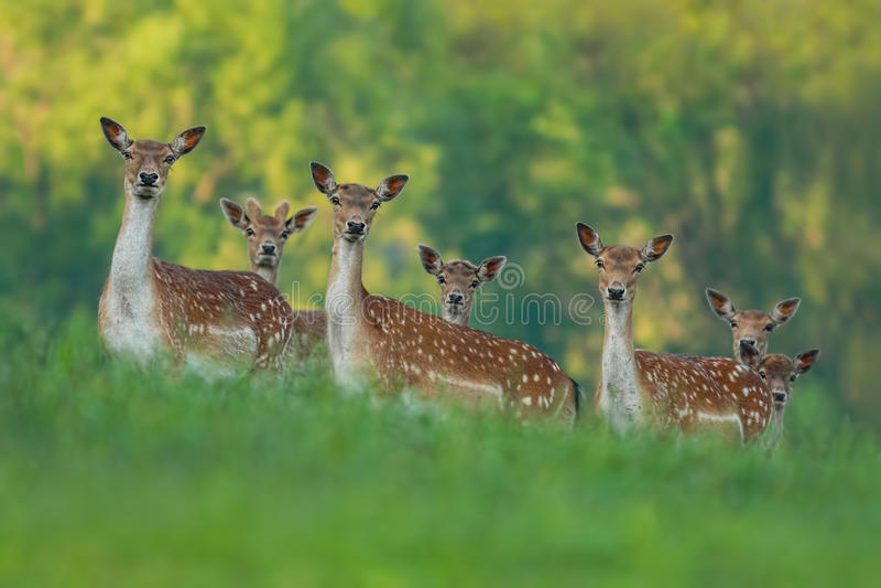 Damhertenfamilie - damhinde en fawn babys stock fotografie