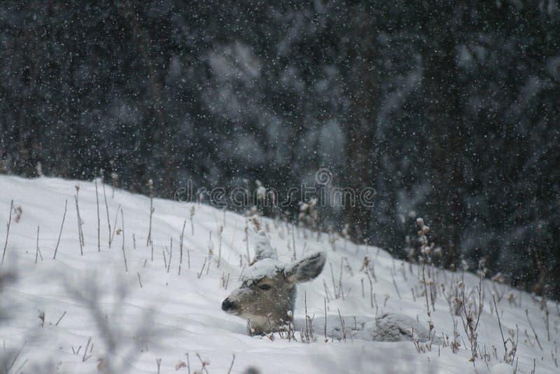 Damhinde in de sneeuw stock afbeelding