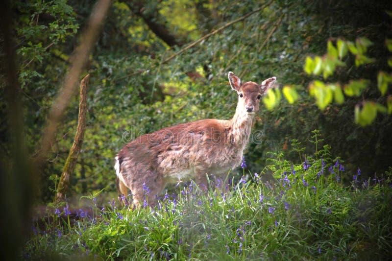 Damhinde een hert, die in de klokjes wandelen stock fotografie