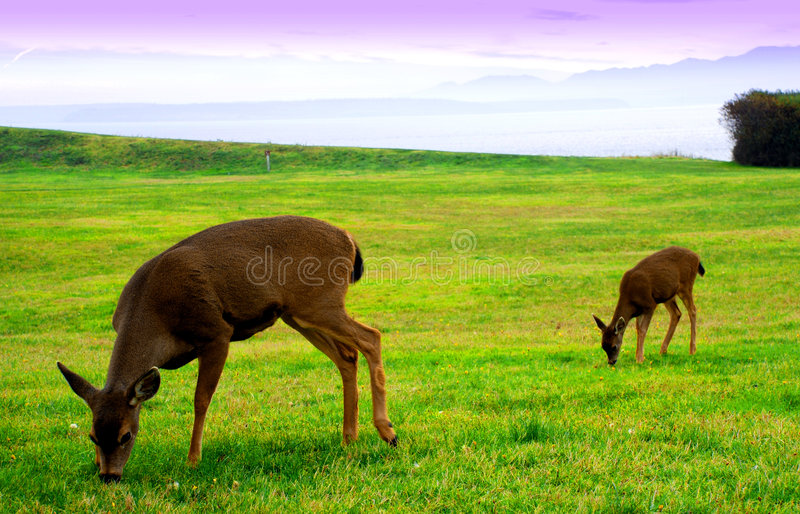Damhinde en fawn stock foto's