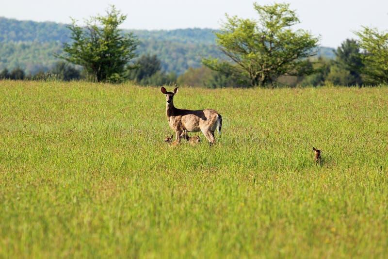 Damhinde met fawns royalty-vrije stock afbeelding