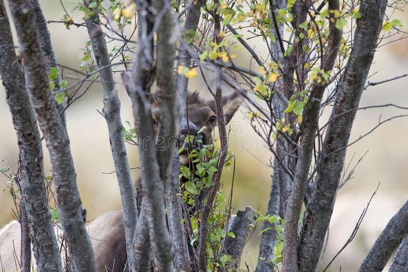 Damhirschkuh-Elche in den Bäumen lizenzfreies stockbild