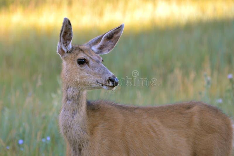 Damhirschkuh, Hinter, im Gras lizenzfreies stockfoto