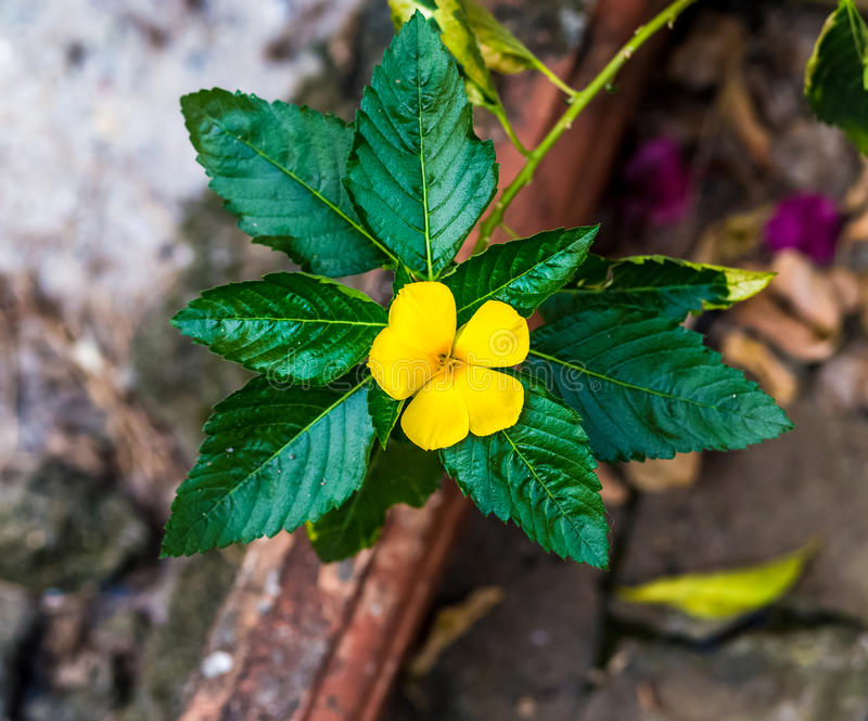 Damiana or Turnera ulmifolia. Damiana or the scientific name Turnera ulmifolia is a yellow plant which grows all the year round in the tropics. `It is used as a royalty free stock photography