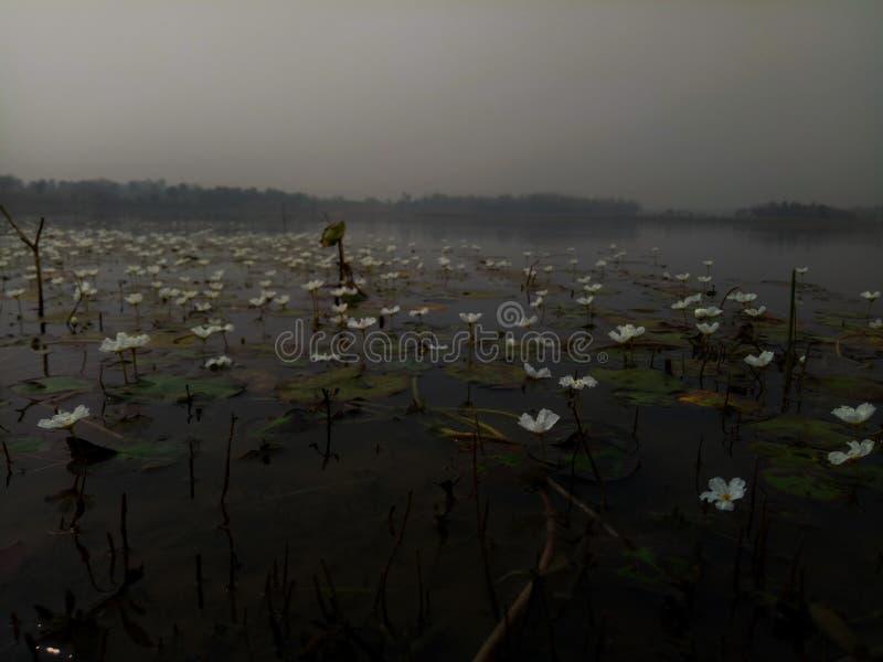 Damm av liljor royaltyfri foto