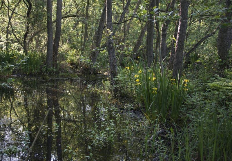Damm i skog arkivbilder