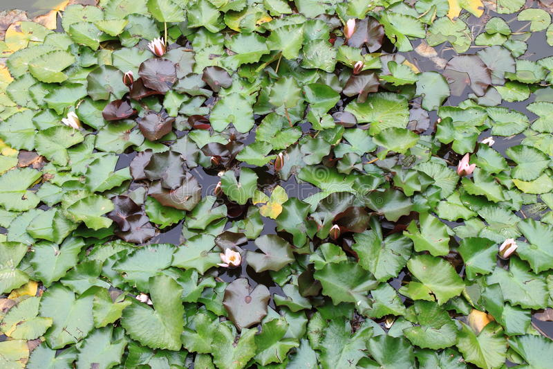 Damm med många för vit blommor waterlily royaltyfri foto