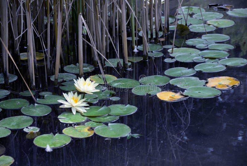 Damm med waterlilies i plåga arkivbilder
