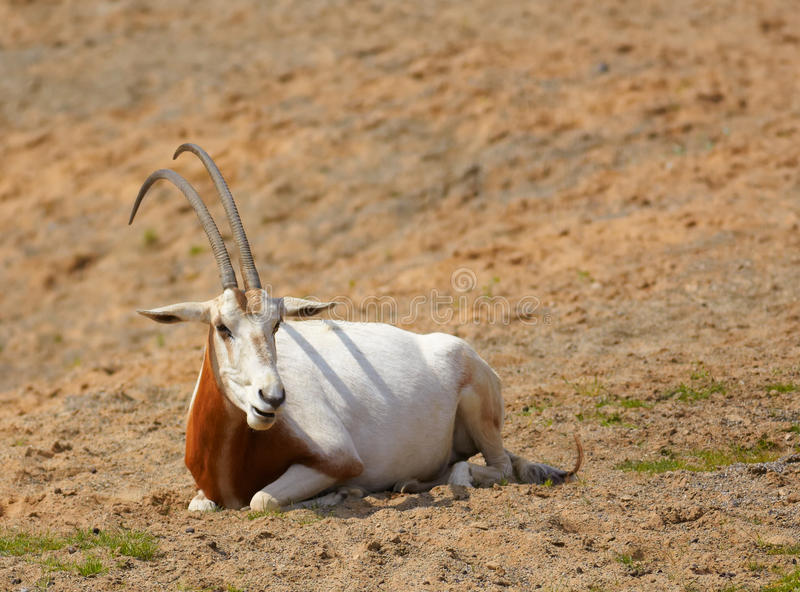 dammah oryx zdjęcia royalty free