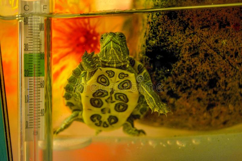Dammsköldpadda i akvarium arkivfoto