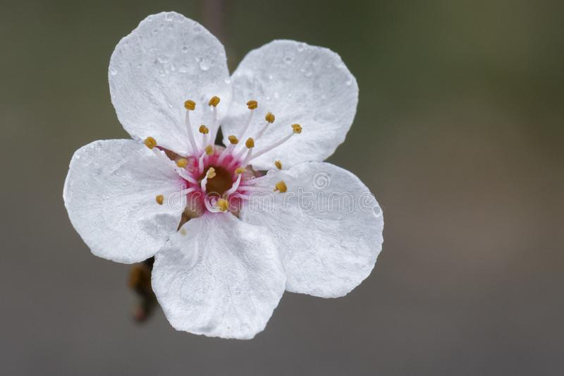 Download White Blossom On A Rainy Day In The Old Cemetery, Southampton Common Stock Photo - Image of flower, hampshire: 113331164