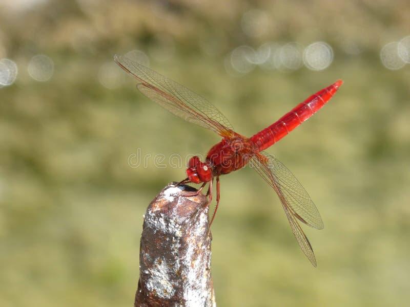 蜻蜓、昆虫、蜻蜓和Damseflies,无脊椎 库存照片
