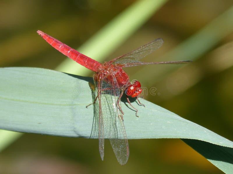 昆虫、蜻蜓、蜻蜓和Damseflies,无脊椎 免版税库存照片