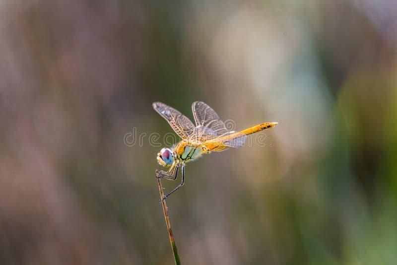 蜻蜓、昆虫、蜻蜓和Damseflies,蜻蜓 图库摄影