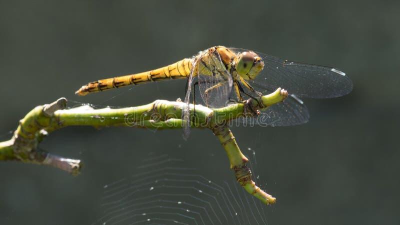 昆虫、蜻蜓、蜻蜓和Damseflies,无脊椎 免版税图库摄影