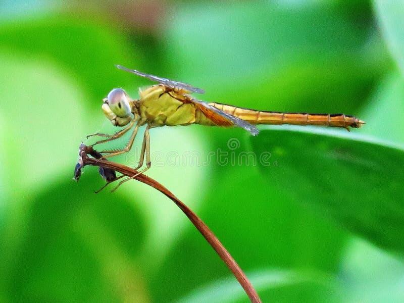昆虫、蜻蜓、蜻蜓和Damseflies,蜻蜓 免版税库存照片