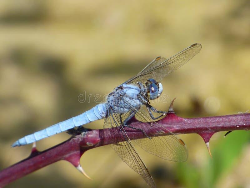 蜻蜓、昆虫、蜻蜓和Damseflies,无脊椎 免版税库存图片