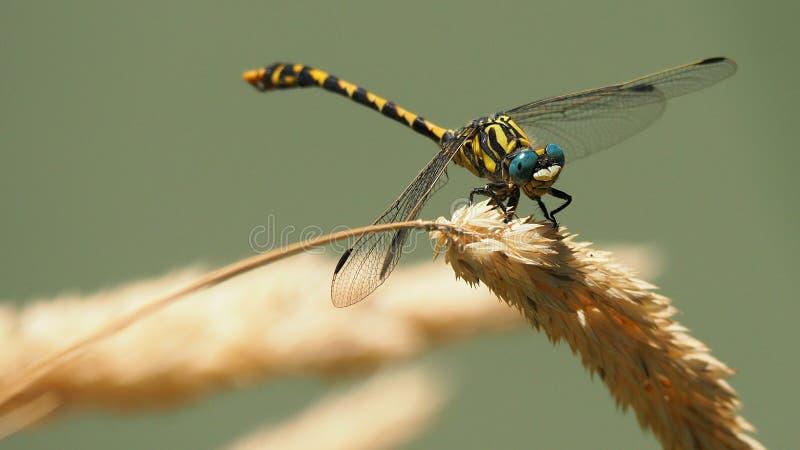 昆虫、蜻蜓、蜻蜓和Damseflies,无脊椎 库存图片
