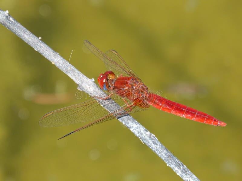 蜻蜓、昆虫、蜻蜓和Damseflies,无脊椎 库存图片