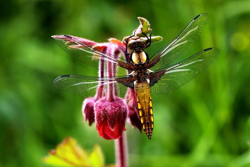 昆虫、蜻蜓、蜻蜓和Damseflies,宏观摄影 免版税库存照片