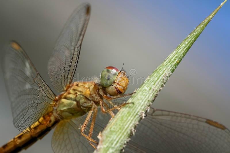 昆虫、蜻蜓、无脊椎、蜻蜓和Damseflies 免版税库存照片