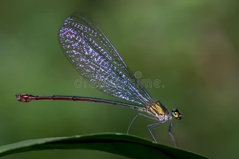 蜻蜓、昆虫、蜻蜓、蜻蜓和Damseflies 图库摄影