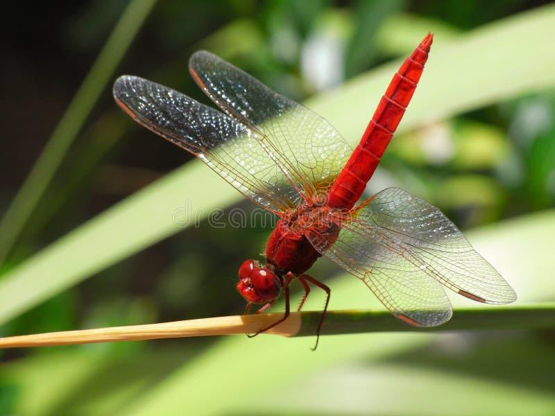 蜻蜓、昆虫、蜻蜓和Damseflies,蜻蜓 库存照片