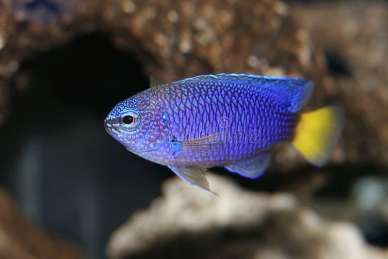 Damsel amarelo azul Nemo da cauda fotos de stock