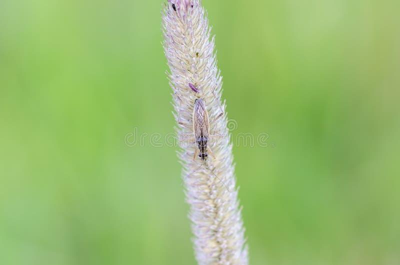 Damsel bug. (Nabis rugosus) on bent waiting a prey stock photography