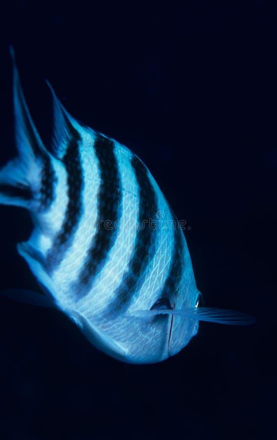 Damsel fish. Swimming away royalty free stock photo