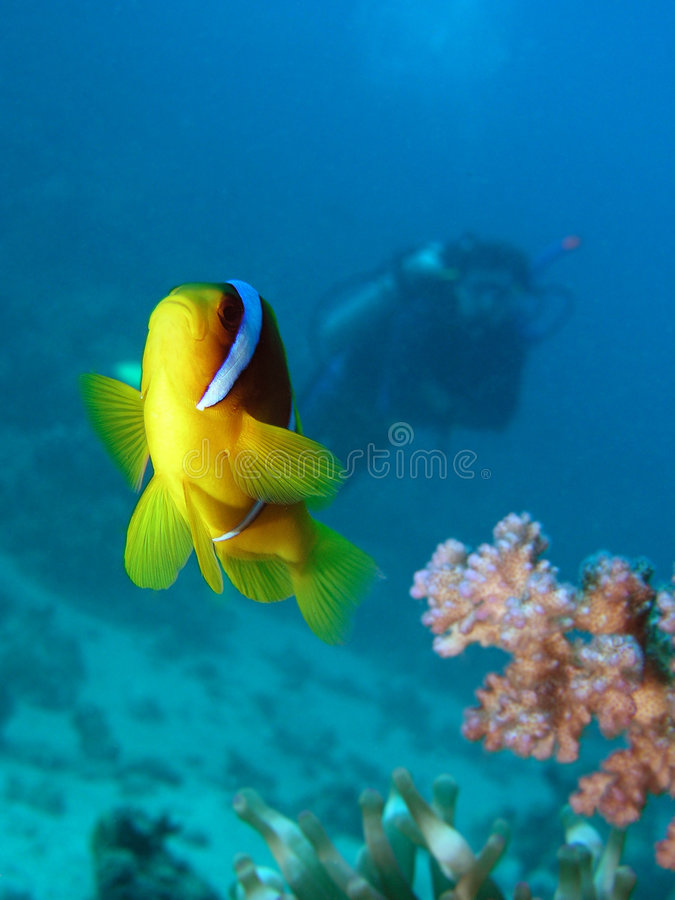 Damsel fish. And diver in Red sea stock photography
