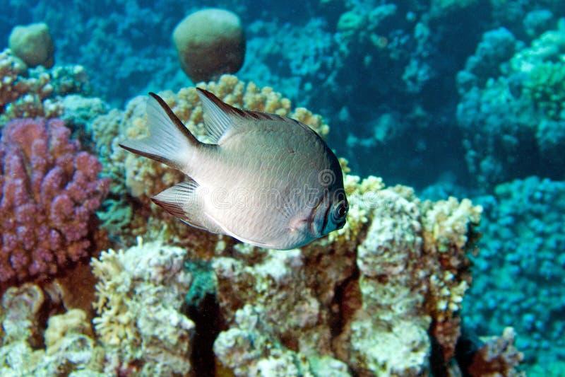 Damsel-Fish (leucogaster do amblyglyphidodon) imagens de stock