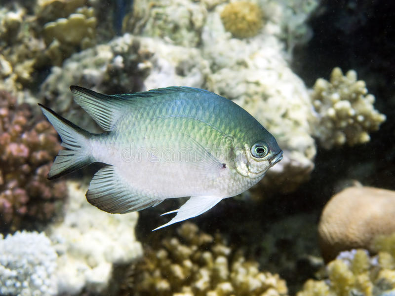 Damsel fish in red sea. A little damsel fish swimming near the red sea coral reef. italian name: Damigella scientific name: Pomacentrus english name: Damsel stock image