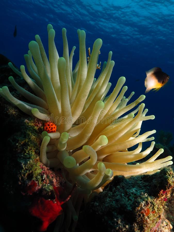 The bright colors of a anemone and a damsel fish. Damsel fish usually lives in the anemones between 40 feet and 65 feet of deep. This was at 50 feet of deep in stock images