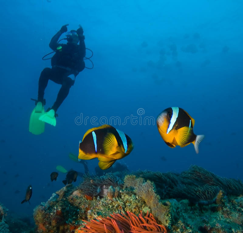 Damsel fishes. And diver, Indian ocean stock photos